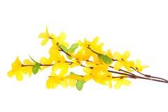 Цветки Forsythia Стоковые Изображения RF