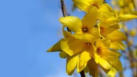 Цветки Forsythia Стоковое Изображение RF