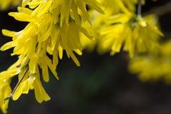 Цветки Forsythia, srpingtime Стоковая Фотография