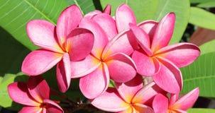 Цветки Frangipani в зеленых листьях Стоковое Фото