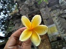 Цветки Frangipani идентичны с Бали стоковое фото rf