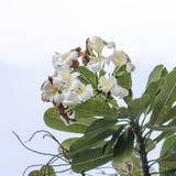 Цветки Frangipani на предпосылке природы Стоковое Изображение RF