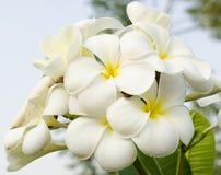 Цветки Frangipani тропические Стоковая Фотография
