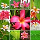 Цветки Frangipani Стоковые Фотографии RF