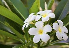 Цветки Frangipani Стоковое Изображение RF