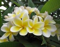 Цветки Frangipani (plumeria) стоковое фото rf