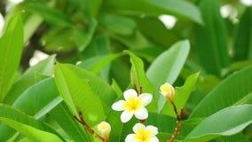Цветки frangipani rubra Plumeria зацветая акции видеоматериалы