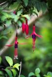 Цветки Fuchsia Стоковые Фото