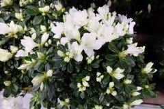 Цветки Gardenia также известные как ` s Святого Антония цветут стоковые фотографии rf