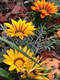 Цветки Gazania Стоковые Изображения RF