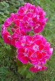 Цветки Geraniacee стоковое фото rf