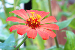 Цветки Gerber в саде, chiangmai Стоковые Изображения RF