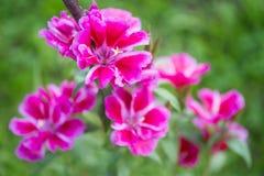 Цветки Godetia grandiflora на зеленой предпосылке Стоковые Фотографии RF