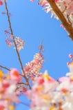 Цветки Grandis кассии Стоковые Фотографии RF