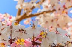 Цветки Grandis кассии Стоковая Фотография