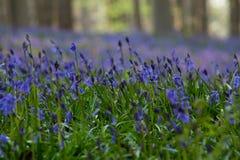 Цветки Hallerbos Bluebells Стоковая Фотография