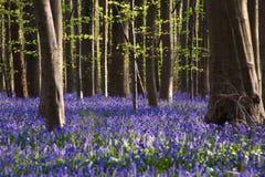 Цветки Hallerbos Bluebells Стоковые Фотографии RF