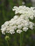 Цветки Hemlock стоковые фотографии rf