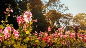 Цветки hollyhock цветеня Ppink graden Стоковые Фотографии RF