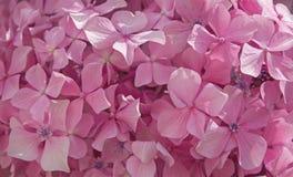 Цветки hortensia Стоковые Изображения