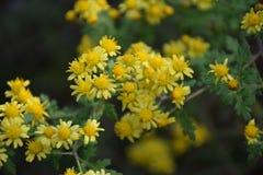 Цветки indicum Dendranthema Стоковые Изображения