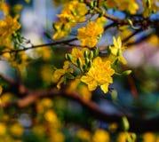 Цветки integerrima Ochna на времени весны Стоковая Фотография