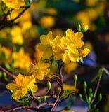 Цветки integerrima Ochna на времени весны Стоковое фото RF
