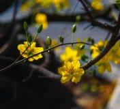 Цветки integerrima Ochna на времени весны Стоковые Изображения RF