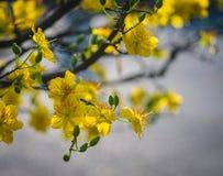 Цветки integerrima Ochna на времени весны Стоковые Фотографии RF