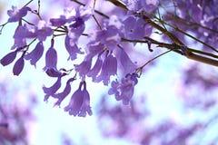 Цветки Jacaranda стоковые фото