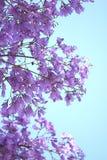 Цветки Jacaranda Стоковая Фотография