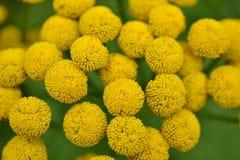 Цветки Jacobaea Vulgaris. Стоковое Изображение