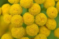 Цветки Jacobaea Vulgaris. Стоковая Фотография RF