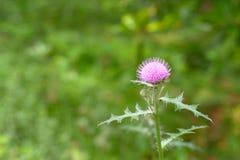 Цветки japonicum Cirsium Стоковые Изображения RF