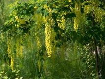 Цветки Laburnum желтые Стоковое Изображение