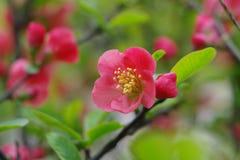 Цветкиlagenaria chaenomeles пука Â стоковые фотографии rf
