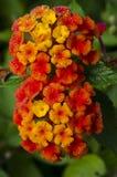 Цветки Lantana Стоковое Изображение RF