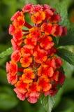 Цветки Lantana Стоковая Фотография RF