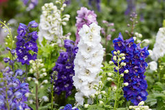 Цветки Larkspur, elatum Delphinium Стоковое Изображение RF