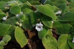 Цветки lilacina Episcia Стоковые Изображения RF