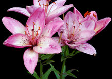 цветки lilly pink обнажано Стоковая Фотография RF