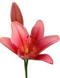 цветки lilly pink обнажано Стоковое Изображение