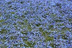 Цветки Lithodora Выставка 2018 Euroflora Parchi di Nervi genoa Италия Стоковая Фотография RF