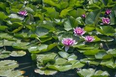 Цветки Lotos на воде Стоковое Изображение