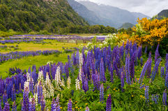 Цветки Lupine на Симпсоне River Valley Стоковая Фотография