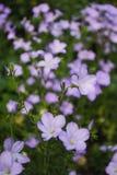Цветки Lylac Стоковые Фотографии RF