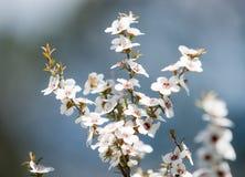 Цветки Manuka Стоковая Фотография