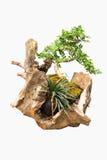 Цветки Masang на пне дерева Стоковое Фото