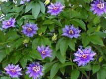 Цветки Maypop Стоковые Изображения