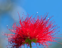 Цветки Metrosideros Стоковая Фотография